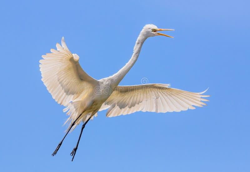 Latający Wielki Egret zdjęcie royalty free