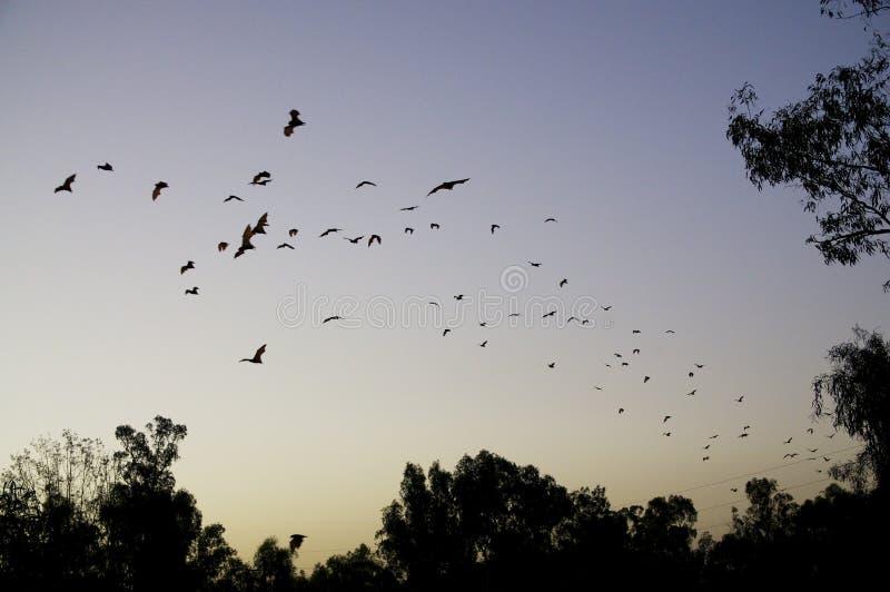 Latających lisów owocowi nietoperze latają w porządnej kolumnie obrazy stock