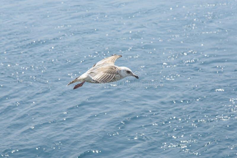 Download Latającego Ptaka Mewa Niebo Czyste Zdjęcie Stock - Obraz złożonej z natura, chmura: 53787306