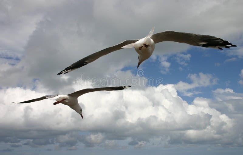 Download Latający mewy razem obraz stock. Obraz złożonej z chmury - 137355