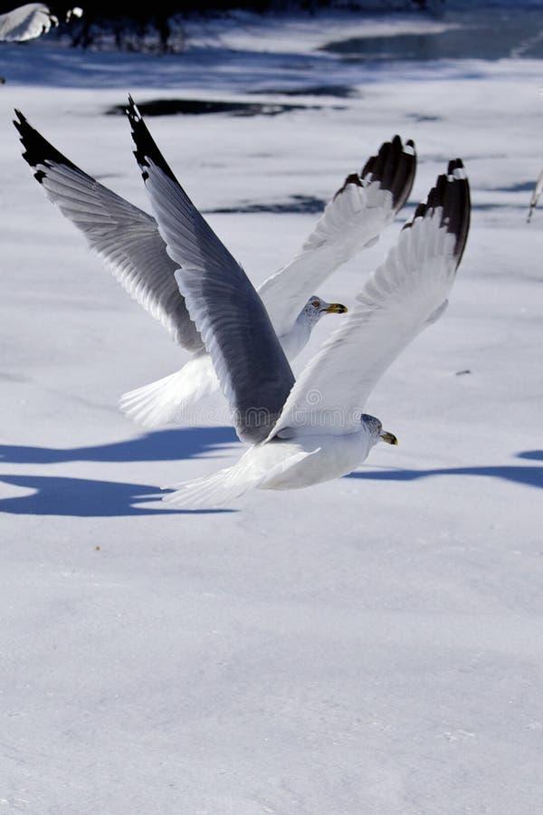 Download Latający ptaki zdjęcie stock. Obraz złożonej z belfer - 28962238