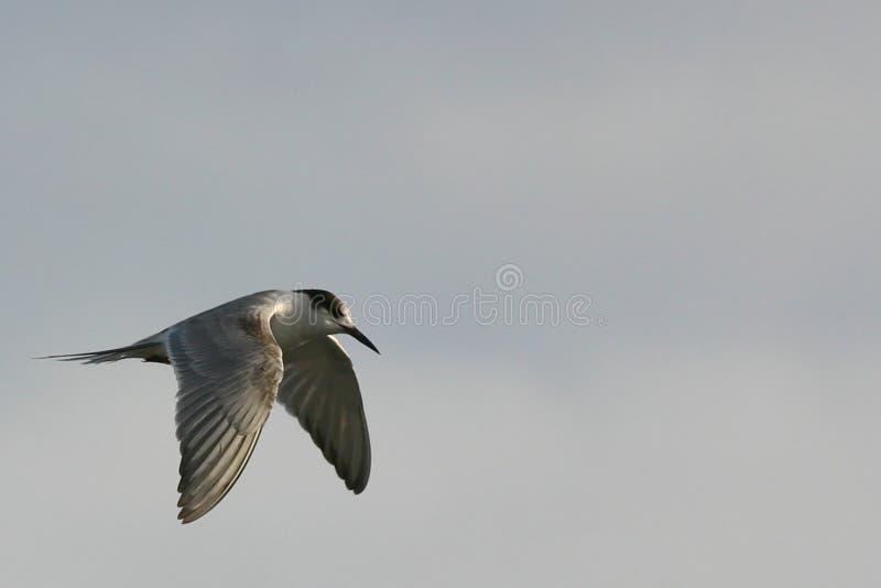 latanie ptaka fotografia stock