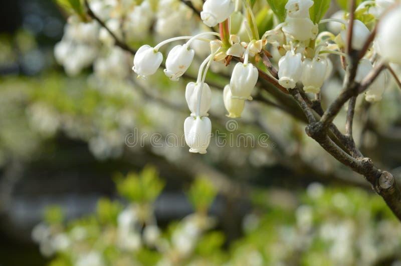 Latarniowy kwiat fotografia stock