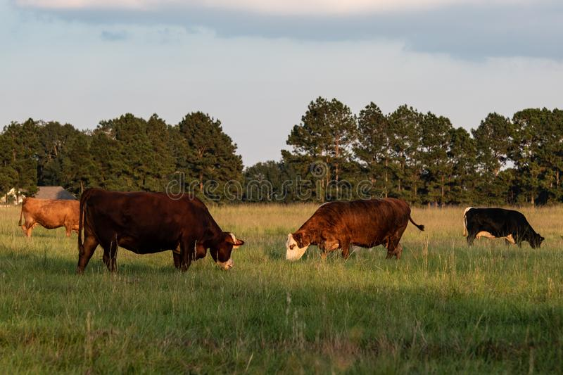 Late afternoon cattle grazing. A herd of crossbred beef cows grazing in tall bermudagrass in the late afternoon stock images
