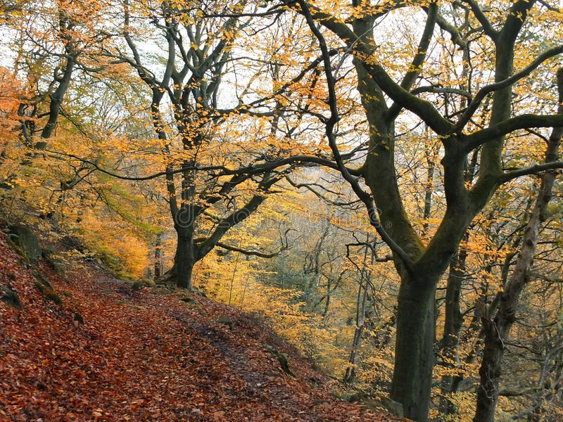 Late autumn beech forest with golden leaf colours. And fallen leaves along the hillside path in west yorkshire england royalty free stock images