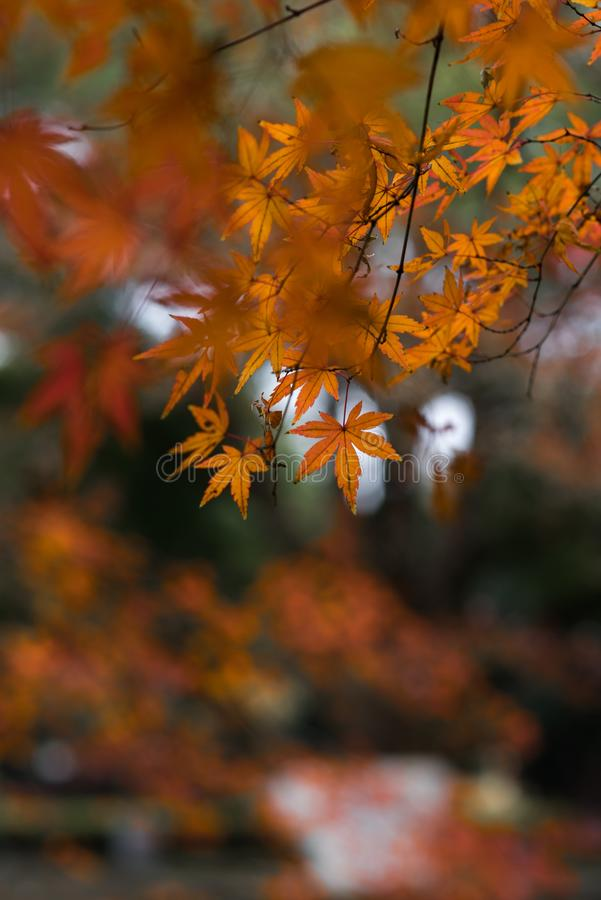 Red leaf-Acer palmatum. In late autumn, leaves are red Acer palmatum, in a corner of the park royalty free stock images