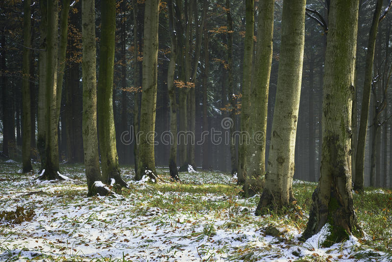 Late autumn snowy mixed forest. Late autumn view of the snowy mixed forest stock photography