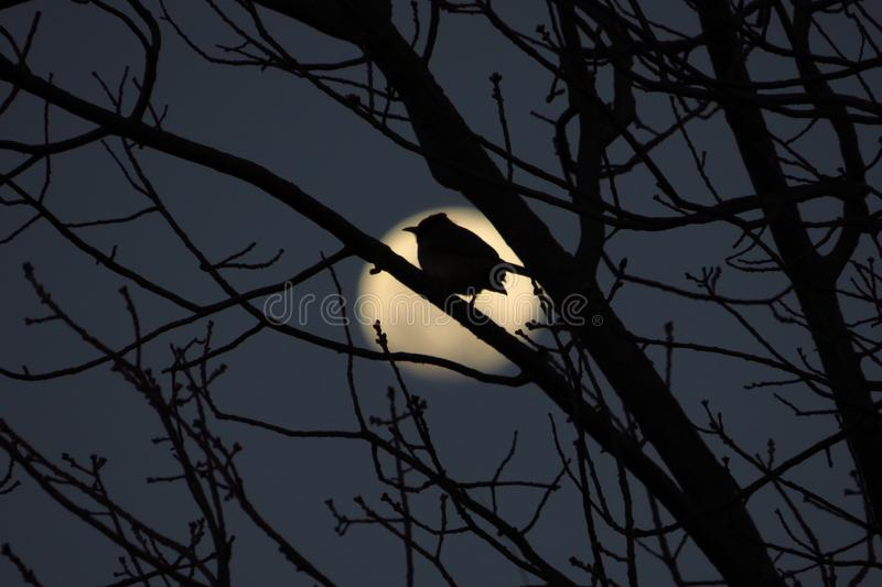 A bird silhouetted against the full moon. stock photos