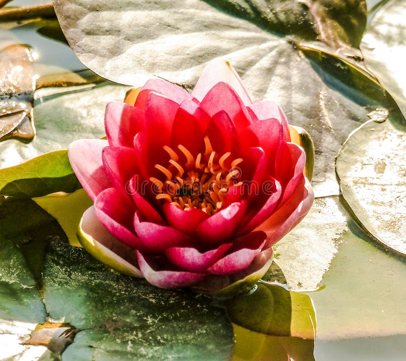 Late Day Lotus royalty free stock images
