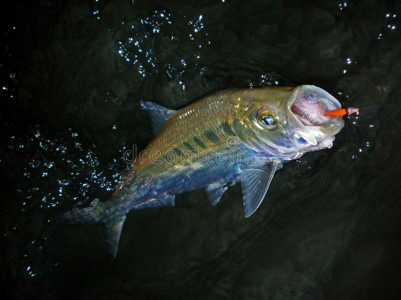 Late Evening Hickory Shad stock images