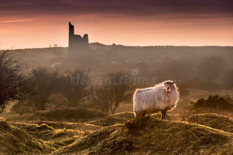 Late Evening Highlights, with backlit handsome sheep on Bodmin Moor in Cornwall. Late Evening Highlights, with backlit handsome sheep on the rugged Bodmin Moor stock photo