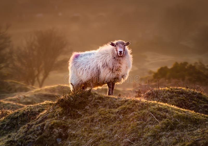 Late Evening Highlights, with backlit sheep on the rugged misty Bodmin Moor in Cornwall. UK royalty free stock photo