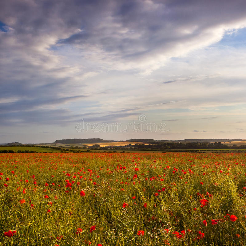 Late evening sun on a Dorset poppy field, UK royalty free stock images
