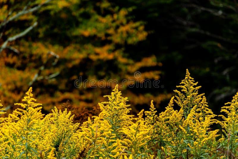 Goldenrod Wildflowers - Autumn / Fall Splendor - West Virginia stock photography