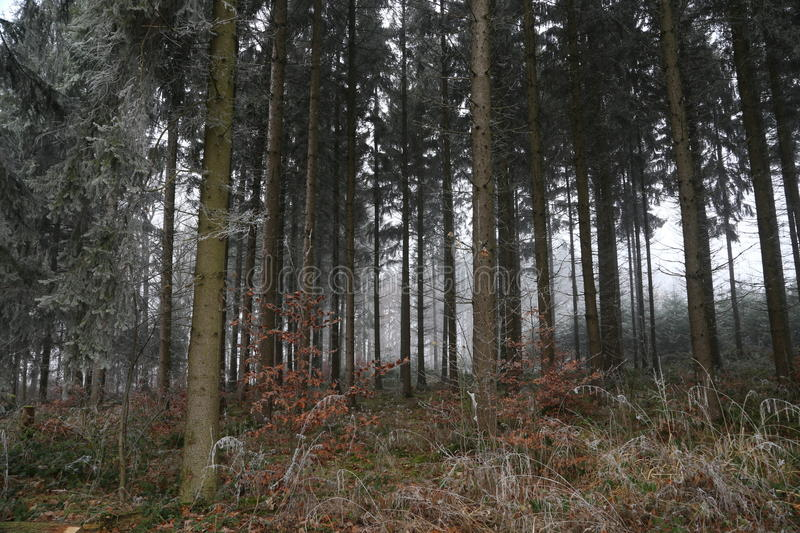Late Fall. / Coniferous Forest / Slender tree royalty free stock photography
