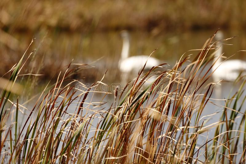 Late fall day shot of reeds with swans in the background stock photos