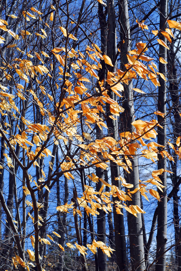 Late fall forest. Forest in late fall with bright blue sky stock photography