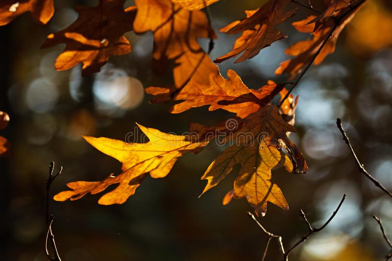 Late Fall leaves on a tree. With the sun providing light from behind stock photography