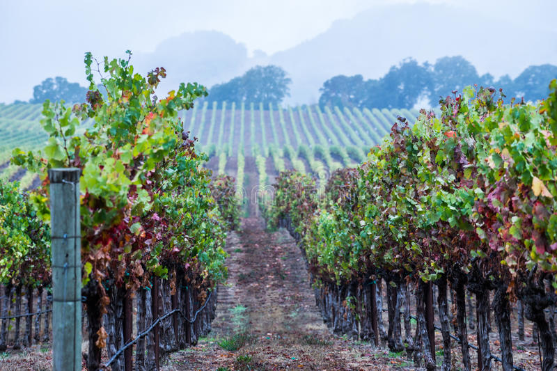 Late Fall Vineyard. This is a vineyard in the Anderson Valley, California during late fall stock photos