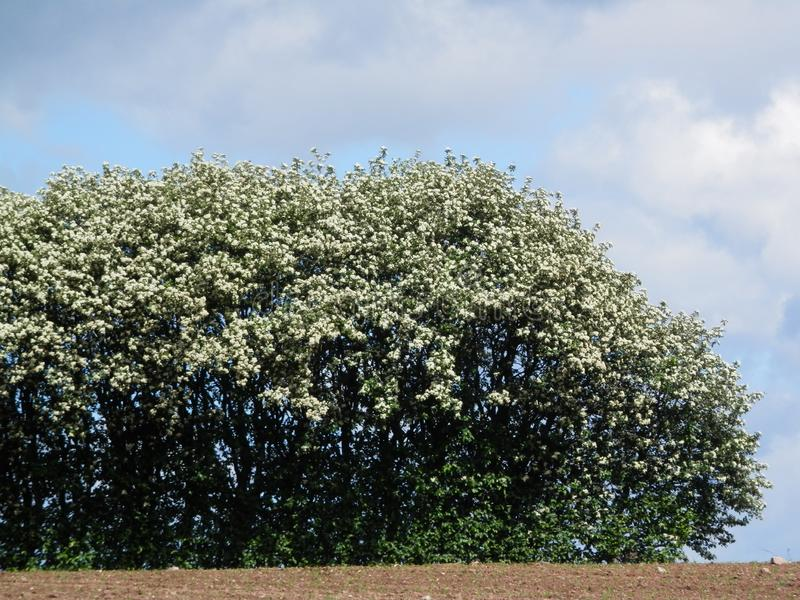 Late May hedgerow in Southern Denmark royalty free stock images