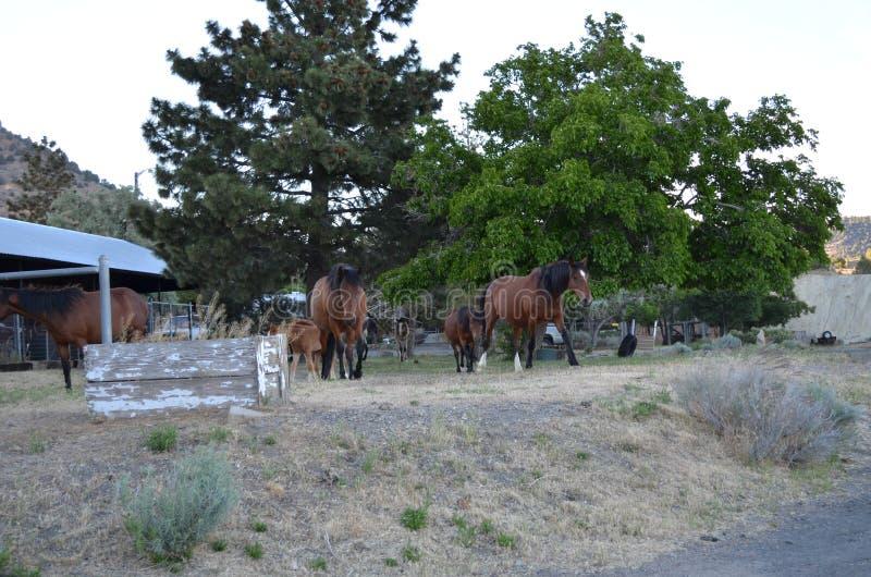 Late Spring in Nevada: Herd of Mustangs Wander Through Virginia City. Late Springtime in Nevada: Herd of Mustangs Wander Through Virginia City stock photo
