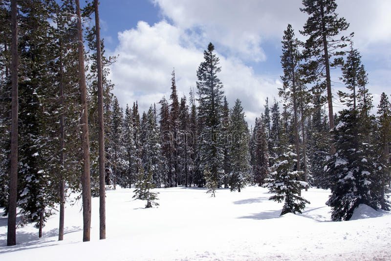 Late spring snow on pine forest. Central Oregon royalty free stock images