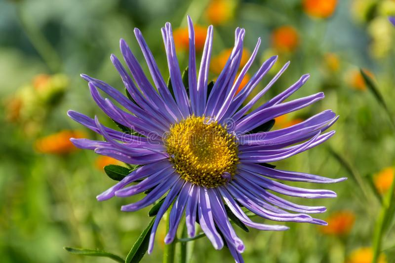 Late summer autumn fall flower perennial species. Michaelmas daisy violet purple garden plant stock photo