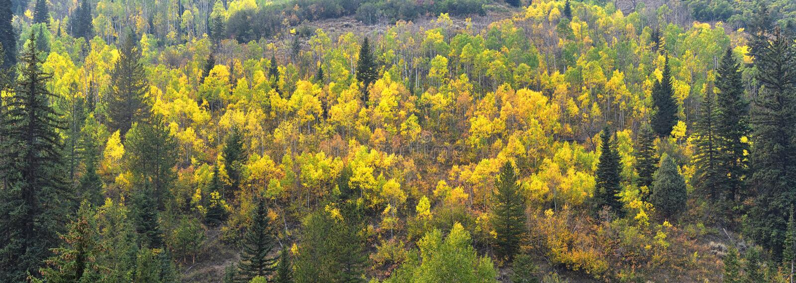 Late Summer early Fall panorama forest views hiking, biking, horseback trails through trees along Highway 40 near Daniels Summit b. Etween Heber and Duchesne in stock photos
