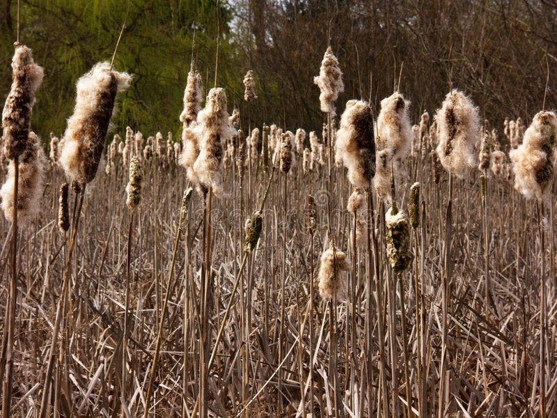 Late Winter Cattails