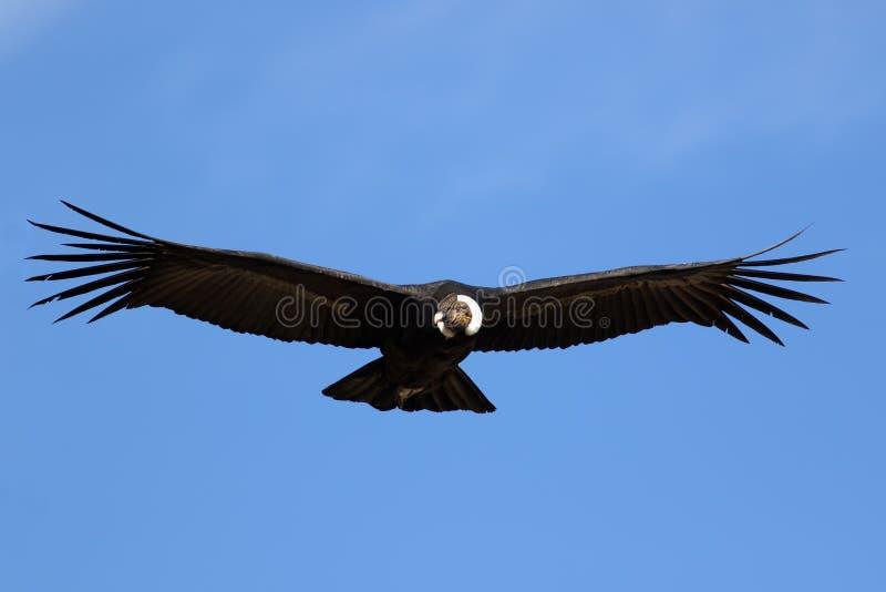 Lateinischer Name - Vultur gryphus lizenzfreies stockbild
