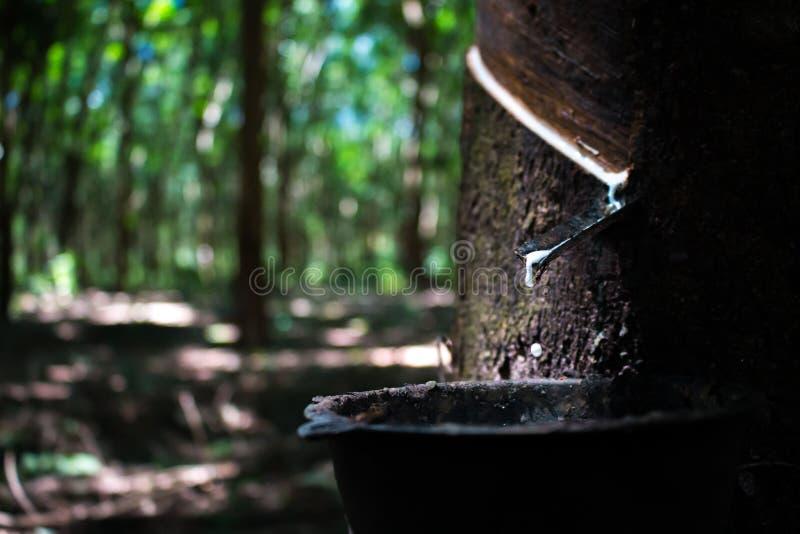 Lateks od gumowych drzew obrazy stock