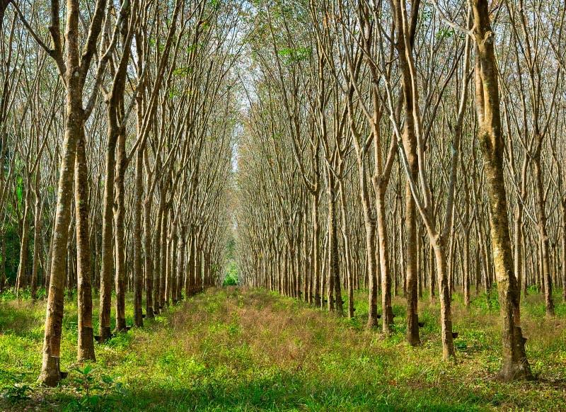 Lateks wydobujący od gumowego drzewa źródła naturalna guma obraz royalty free
