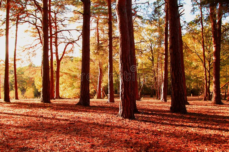 Autumnal forest trees at sunset stock photography