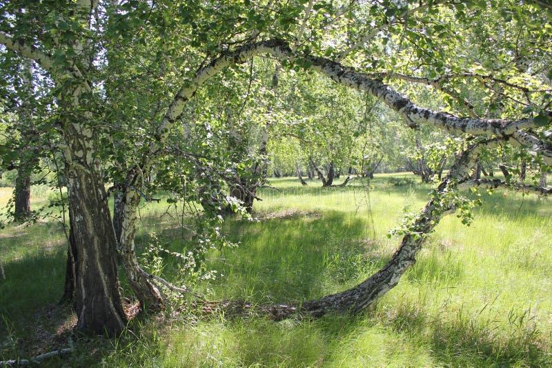 Lateral brzoza w lesie zdjęcie stock