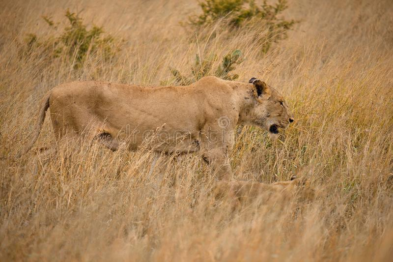 Side Head shot of lions. Lateral shot of Mother and cub lion walking in brown high grass, perfectly camouflaged in african plains stock image