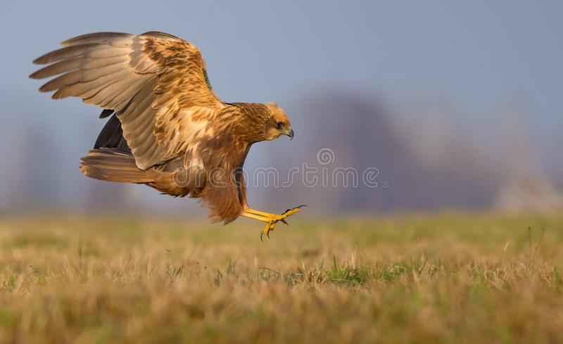 Lateral or side view of Western Marsh Harrier motion attack in speed flight with spreaded talons and claws royalty free stock photography