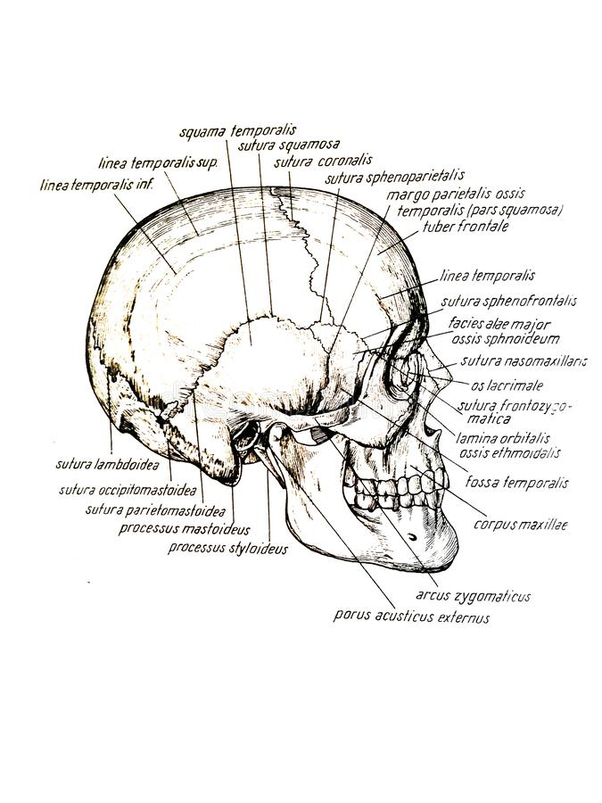 Lateral view of skull and skull bones names vector illustration