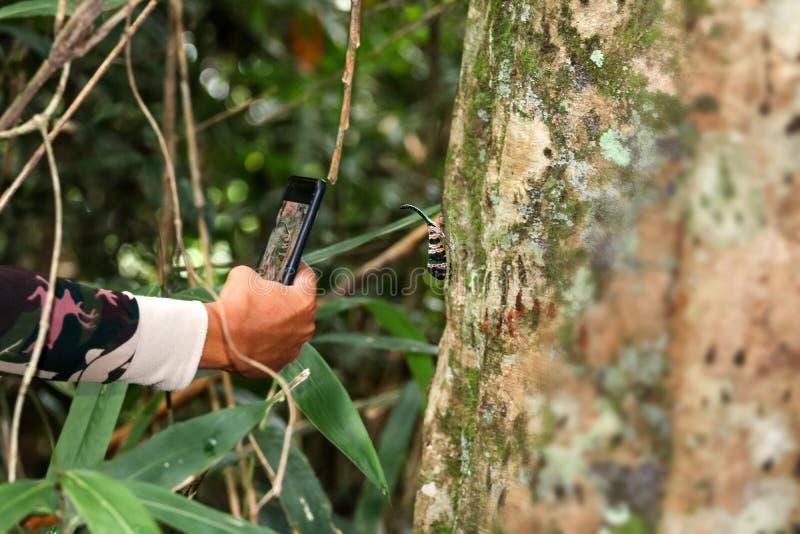 Laternenfliege auf Baum witn Hand unter Verwendung des Telefons, zum von Fotos von herein zu machen lizenzfreie stockfotografie