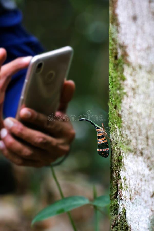 Laternenfliege auf Baum witn Hand unter Verwendung des Telefons, zum von Fotos von herein zu machen stockbild