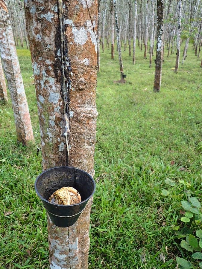 Latex die uit rubberboom afscheiden royalty-vrije stock afbeeldingen