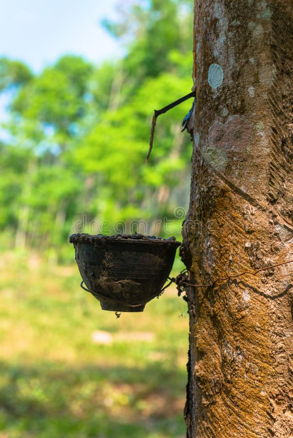 Latex extracted from rubber tree. As a source for natural rubber production. With green forest on background royalty free stock images