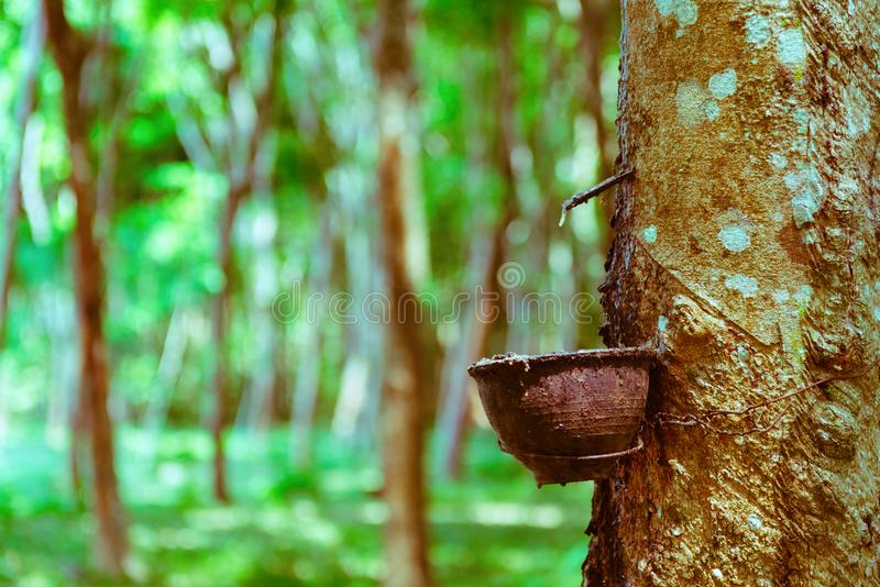 Latex extracted from rubber tree. As a source for natural rubber production. With green forest on background stock image