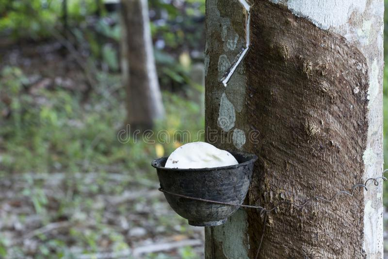 Latex extrahiert von Gummibaum Hevea Brasiliensis als Quelle des Naturkautschuk, Naturkautschuk vom Baum in der Schale lizenzfreie stockfotos