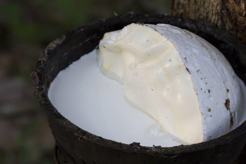 Latex extrahiert von Gummibaum Hevea Brasiliensis als Quelle des Naturkautschuk, Naturkautschuk vom Baum in der Schale lizenzfreies stockfoto