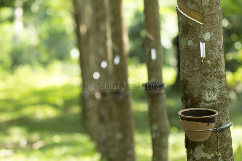Latex extrahiert von Gummibaum Hevea Brasiliensis als Quelle des Naturkautschuk, Naturkautschuk vom Baum in der Schale stockfotos