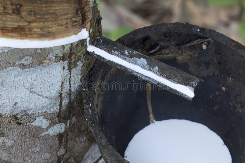 Latex extrahiert von Gummibaum Hevea Brasiliensis als Quelle des Naturkautschuk, Naturkautschuk vom Baum in der Schale lizenzfreie stockbilder
