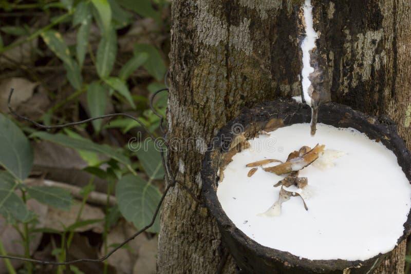 Latex extrahiert von Gummibaum Hevea Brasiliensis als Quelle des Naturkautschuk, Naturkautschuk vom Baum in der Schale stockbilder