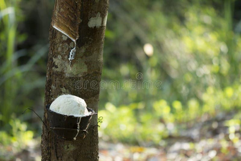 Latex extrahiert von Gummibaum Hevea Brasiliensis als Quelle des Naturkautschuk, Naturkautschuk vom Baum in der Schale lizenzfreies stockbild