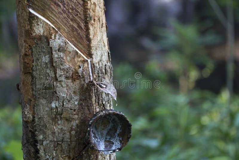 Latex extrait à partir de l'hévéa Brasiliensis d'arbre en caoutchouc comme source du caoutchouc naturel, le caoutchouc naturel images stock