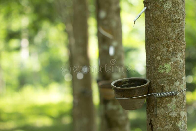 Latex extrait à partir de l'hévéa Brasiliensis d'arbre en caoutchouc comme source du caoutchouc naturel, le caoutchouc naturel photos libres de droits